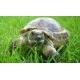 Черепаха сухопутна