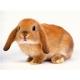 """Кролик породи """"Висловухий баран"""""""