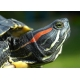 Черепаха червоновуха  (Trachemys scripta)