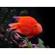Тригибридный папугай красный