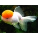 Золота рибка - Оранда Червона шапочка